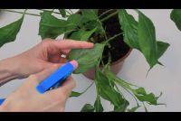 Gebruik reinigingsmiddel tegen bladluizen - dus slagen de juiste mix