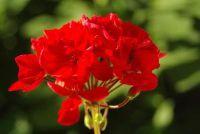 Geraniums pour - wat te zoeken bij het gieten