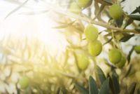Bemesten olijfboom goed
