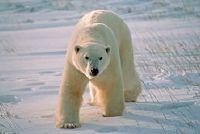 Hoe oud ijsberen zijn gemiddeld?
