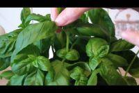 Harvest basilicum goed - Instructies