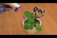 Wolluizen orchideeën - gaan zodat u het ongedierte weer
