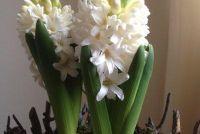 Hyacinth - de juiste zorg in pot & Tuin