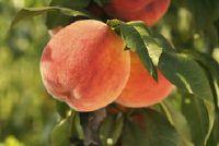Wanneer men oogsten perziken?