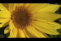 Instructies - planten zonnebloemen