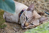Koude oren bij katten - zodat je goed de symptomen te interpreteren