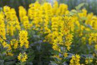 Loosestrife gebruik - tips over tuinontwerp