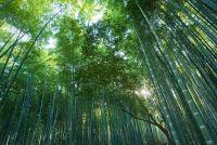 Hoe snel groeiende bamboe?  - Wat u moet weten