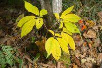 Ficus Ginseng verliest bladeren - zo succesvol zorg