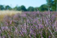 Summer heide plant - Instructions