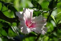 Hardy hibiscus - zo succesvol planten