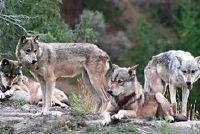 Wat wolven eten?  - Meer informatie over de dieren Ontdek