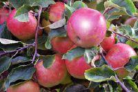 Apfelbaum: een ziekte veroorzaakt door schimmelaantasting je herkent als