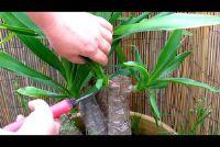 Snijden palmen - zodat u ze goed te onderhouden