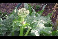 Verwijder Rabarber flower - zodat je de plant te behouden