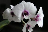 Handhaaf mini orchideeën goed