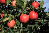 Oude appelboom snijden - het moeten er rekening mee