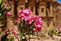 Oleander heeft gekregen vorst - wat te doen?