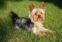 Honden: gebruik maken van de Yorkshire Terrier goed - hoe het werkt