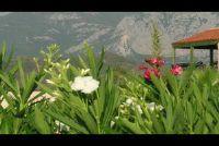 Oleander bezuinigen - als je het goed doen