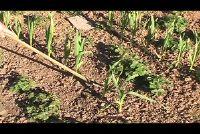 Garlic vast - wanneer en hoe gemakkelijk te verklaren