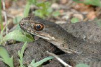 Groene slang in Duitsland - Informatieve
