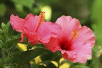 Hibiscus & Water - verzorgingstips voor tuiniers