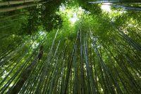 Bamboe heeft bruine bladeren - oorzaken en oplossingen