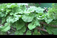 Rabarber planten - hoe het werkt