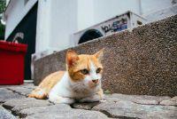 Kat heeft rode korst op de oren - wat te doen?