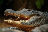 Crocodile species - zodat u deze dieren te onderscheiden