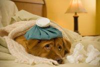 Hond koorts heeft - wat te doen?