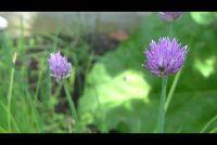 Bieslook Blossoms: Edible?  - In staat zijn om ze te verwerken