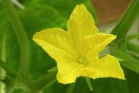Komkommer ziekten - gele bladeren vecht je zo