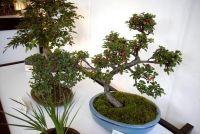 Fukientee verliest bladeren - dus de bonsai is weer mooi