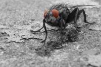Grote, zwarte vliegen in het huis - wat te doen?