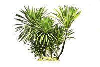 Palm bladeren zijn groen en opgedroogd - wat te doen?