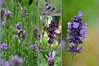 Lavender - Care