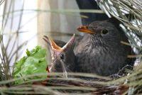 Blackbird fokken - dus kunnen ze slagen