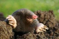Verdeel Mole - hoe het werkt