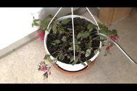 Fuchsias - zorg instructies voor de overwintering