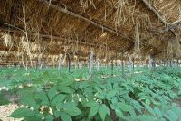 Ginseng plant - Planten en groeiende