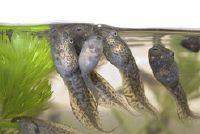 Raise kikkervisjes - zodat het geschikt is voor de soort