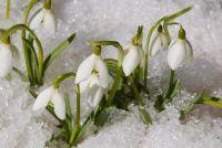 Spring bloeiende - planten en de zorg sneeuwklokjes rechts