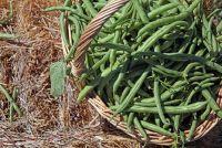 Plant bush bonen - zo beheert een rijke oogst