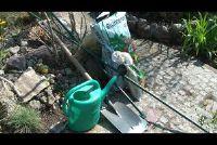 Plant dahlia - hoe het moet