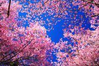 De Japanse kerselaar en haar culturele belang