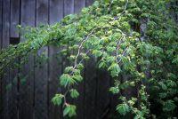 Hazelnoot planten - wat te zoeken