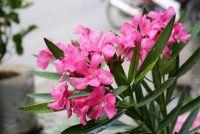 Oleander bevruchten - Wat u moet dit overwegen