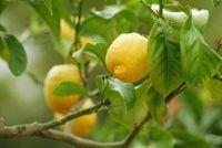 Meng citrus aarde zelf